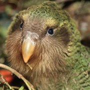 The kakapo - a flightless endangered parrot from new zealand