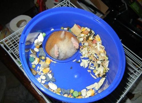 Fat hamster stuck